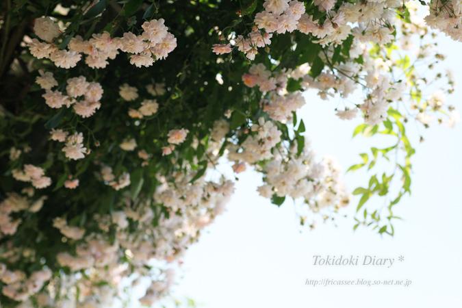 rose5-sonet-s.jpg